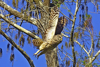 Barred Owl, Everglades (Photo By Paul Allen)
