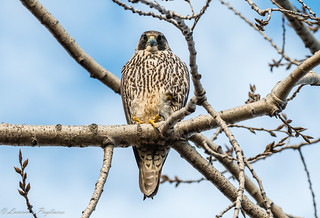 Peregrine falcon - Great Kills Park, Staten Island, New York