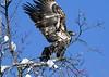 Bald Eagle Juvenile. (rumerbob) Tags: baldeagle baldeaglejuvenile eagle peacevalleypark lakegalena raptor avian birdofprey bird birdwatching birdwatcher wildlife wildlifephotographer wildlifewatcher nature naturewatcher naturephotography canon7dmarkii canon100400mmlens