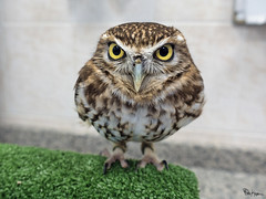 Hello Friendo (Karnevil) Tags: asia unitedarabemirates uae emirate abudhabi emirateofabudhabi capitaloftheunitedarabemirates persiangulf arabiangulf arabiansea burrowingowl owl bird brighteyes yelloweyes falconhospitaltour abudhabifalconhospital aviary falcon rx100 sony petekreps