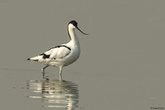 # Pied Avocet.......... (Prem K Dev) Tags: pied avocet avian wader water white wildlife wonderful black bird beautiful nature golden lake light lovely india subcontinent sml sholinganallur colourful chennai