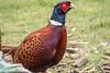 Pleasant Pheasant (dusk_rider) Tags: pheasant nikon d7200 nikkor 55300mm dusk rider plumage feathers colorful colourful