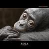 XOLA (Matthias Besant) Tags: affe affen affenfell animal animals ape apes pygmychimpanzee fell zwergschimpanse hominidae hominoidea mammal mammals menschenaffen menschenartig menschenartige monkey monkeys primat primaten saeugetier saeugetiere tier tiere trockennasenaffe bonobo schauen blick blicken augen eyes look looking baby mixi xola bonobobaby child kind zoo zoofrankfurt matthiasbesant hessen deutschland