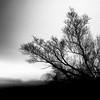 Weide (McGeiwa) Tags: weide baum lübars flies schwarz weis korn