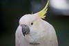 Thea (ToddLahman) Tags: thea sulphurcrestedcockatoo beautiful birds bird outdoors portrait canon7dmkii canon canon100400 closeup safaripark sandiegozoosafaripark escondido eyelock animalambassador