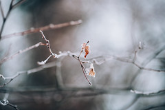 Autumn&Winter (desomnis) Tags: bokeh dof depthoffield nature natur details branches leaves leaf 135mm canon135mmf20 canon135mm canonef135mmf2 canonef135mmf2l 6d canon6d canoneos6d canon desomnis autumn autumnal autumncolors autumnfoliage winter snow frost frosty frostyrime