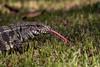 Teiú (Salvator merianae) (Eden Fontes) Tags: riodejaneiro salvatormerianae jb jardimbotânico rj jbrj reptiles teiú