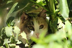 Vigilante (Leyla Nasar Fotografías) Tags: cat gato fotografia foto fotos photo photography photos nature naturaleza natural verde green garden gardeners lugar place places planta plantas niceplace niceplaces animal animals animales eyes ojos mirada vigilante observando observar
