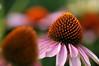Echinacea (naruo0720) Tags: echinacea エキナセア sigmalenses sigma105mmf28 sigma105mmf28exdgoshsm