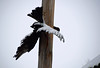 Fly With Your Eyes Open (MTSOfan) Tags: effigy collision vulture pole utilitypole crash snow feathers