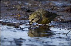 Half Beak (Gary Watson) Tags: canon7d canon500f4 parrot crossbill breckland norfolk woodland puddle drinking