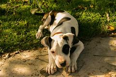 my dog (Don_Lolo) Tags: pets dog morgan friend pitbull white