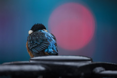 Urban Kingfisher (Daniel Trim) Tags: kingfisher bird birds birding urban fishing city town lights alcedo atthis commonkingfisher common nature wildlife animals hertfordshire
