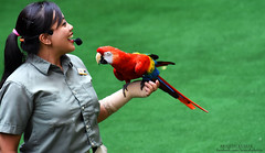 Bird Trainer (Br@jeshKr) Tags: highflyersshow jurongbirdpark singapore brajeshart parrot green show wildlife