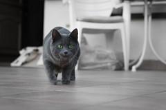 Playtime (explored) (Jana`s pics) Tags: cat cats cateye cateyes grey greycat greeneyes playtime hunting katze katzen grauekatze grüneaugen jagen jagdtrieb spielen grau grün green haustier tier pet animal eos750d 35mm caturday samtpfote velvetpaws paws explore