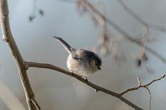 Long-tailed Tit (microwyred) Tags: birds wildlife bird nature animal branch small outdoors winter beak tree animalsinthewild feather closeup cute season beautyinnature oneanimal birdwatching