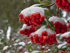 Berry Cold (heric09) Tags: berry snow winter cold nature