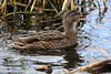 Female Mallard - Sprotbrough Flash - 2018-02-12 (BillyGoat75) Tags: mallard female duck anasplatyrhynchos nature pond sprotbroughflash yorkshirewildlifetrust doncaster southyorkshire
