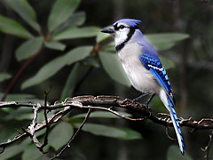 Corvidae: Cyanocitta cristata - Blue Jay (William Tanneberger) Tags: corvidae cyanocitta cyanocittacristata bluejay jay wdtfebruary homewoods wildlife nature woodland
