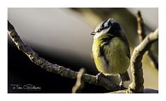 Blue Tit (timgoodacre) Tags: bluetit tit bird nature branch wildlife blue
