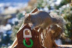 It's mine all mine! (ineedathis, Everyday I get up, it's a great day!) Tags: easterngraysquirrel hff zoom sciuruscarolinensis treesquirrel garden 2017gingerbreadhouse roof bokeh royalicing gingerbreadhouse christmas miniature sugarwork modeling baking nikond750 glitter weepingatlascedar ornamentaltree winter outdoor gumpaste