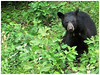 Staredown (cscott_va.) Tags: wildlife virginia shenandoahnationalpark skylinedrive blackbear