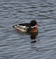 Red-breasted Merganser (billbigfish) Tags: fowl birdwatcher ngc nature tamron canon duck divingduck canon80d