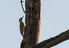 Green Woodpecker (CKM Duncan) Tags: green woodpecker fife scotland birding branch kinghorn loch kingfisher bone rook wedge brown