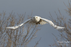 Snow Owl takes flight - sequence - 8 of 9