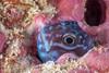 An unknown coral blenny. (jonmcclintock) Tags: adventure rajaampat travel fish thingsinholes underwater indonesia scuba diving