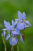 Iris (yvonnepay615) Tags: panasonic lumix gh4 flower iris blue gooderstone norfolk eastanglia uk
