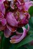 Dégradation (Bloui) Tags: 2017 botanicalgarden eos7d jardinbotanique july ruisseaufleuri montréal québec flower peony pink dying dead petals