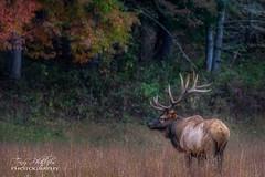 Autumn Bull Elk (Tony Phillips Photography) Tags: greatsmokymountainsnationalpark northcarolina animal autumn autumncolor bull elk fall fallcolor nature naturephotography outdoorphotography outdoors wildlife wildlifephotography