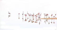 Flamants (keltia17) Tags: flamants roses pink flamingos flamencos white uae eau emirates alwathbawetlandreserve wathba abudhabi