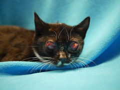 Tilly (1) (AbbyB.) Tags: cat feline rescue adopt eyes infection mtpleasantanimalshelter easthanovernj shelterpet pet