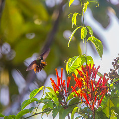 La grâce ! (alain_did) Tags: hummingbird nature naturelover naturallight bokeh flowers tropical amazonie amazonia ameriquedusud colors jungle vol ailes lumière tamron150600 canon5dmkiii beauty beautyinnature beautiful