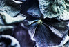 Forever (borealnz) Tags: hydrangea blue flowers rich old texture