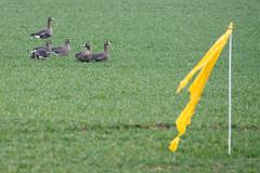 Something did not really work... (martinstelbrink) Tags: greaterwhitefrontedgoose greaterwhitefrontedgeese blässgans blässgänse feld field wildgeese wildgänse salmorth schenkenschanz kleve sony alpha77ii a77ii sigma120400mmf4556 sigma tele germany nrw nordrheinwestfalen niederrhein bird birds goose geese gans gänse vogel vögel