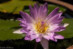 Water lily, Pink Leone (Johan Grobbelaar) Tags: pinkleone waterlily
