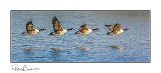 Geese flying in the late winter sun