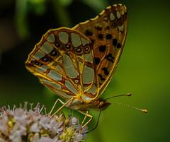 Mariposa - Issoria Lathonia (G.Sartori.510) Tags: pentaxk1 hdpentaxdfa150450mmf4556eddcaw butterfly farfalla issorialathonia