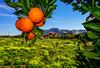 Huerto de Beniaján (Milo10050) Tags: huerta murcia españa spain sol sun naturaleza flores fruta naranja cielo
