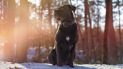 cold (etsie74) Tags: cold snow dog italian cane corso power sweet nature forrest colors fog foggy tree trees love pure breed animal pet though