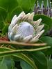 Tresco Abbey Gardens: Protea Cynaroides (Marit Buelens) Tags: protea tresco trescoabbeygardens islesofsclly exotic proteacynaroides kingwhite white green southafrica sugarbush