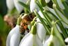 Snowdrop Bee (AndyorDij) Tags: apismellifera honeybee bee snowdrops galanthus flowers plants gardens england empingham rutland uk unitedkingdom andrewdejardin winter wildflowers 2018 insects insect