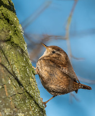 Wren tree climbing. (steve.gombocz) Tags: nikkor digital bark nature bird outdoor animal out outandabout wildlife wildlifewatch naturewatch wildlifereserve naturereserve wildlifephoto naturephoto wildlifephotograph naturephotograph wildlifephotography naturephotography wildlifepicture naturepicture winterwatch bbcwinterwatch tier animale flickrwildlife flickrnature wildbritain britishwildlife britishnature wildlifeuk yorkshirewildlife yorkshirenature rspb rspboldmoor dernevalley birds ukbird wren birdwatch birdwatcher birdwatching naturewildlife uknatureandwildlife flickrbirds birdphoto birdpictures birdsightings explorewildlife explorenature explorebirds exploreflickr birdphotography birdphotographs colour colours color colourmania avian uccello oiseau vogel ave pajaro flickraddict nikon nikond810 nikon500mmf40 nikonusers nikoneurope nikoncamera nikonfx
