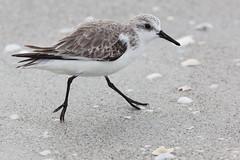 Beach Runner (rlb1957) Tags: sanderling calidrisalba beach running sanibel island florida