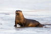 North American River Otter (rob.wallace) Tags: winter 2018 north american river otter mammal