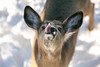 Sweet Little Guy (Jenna.Lynn.Photography) Tags: animal macro tongue deer buck fawn cute guy male fur pink brown snow winter january 2018 sweet wildlife wildlifephotography nature white portrait canon eos 5dmarkiii youngbuck dof young mammal hungry lick eyes ears whiskers