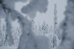 Hiding (kooikkari) Tags: trees ylläs äkäslompolo winter kuer kuertunturi tunturi lapland finland snow lumi